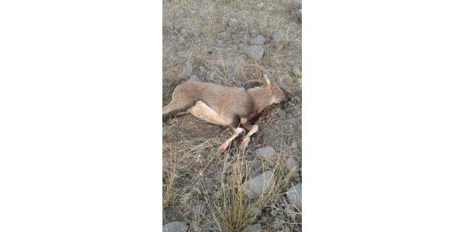 Tunceli'de silahla vurulan yaban keçisi ölü bulundu