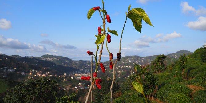 Havalar sıcak gitti, ağaçlar meyve verdi