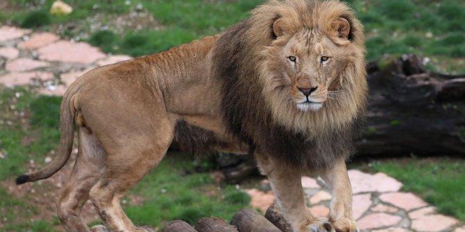 Cumhurbaşkanı Erdoğan'a hediye edilen aslanlar büyüdü