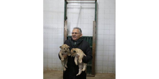 İki aslan yavrusuna ziyaretçiler isim verecek