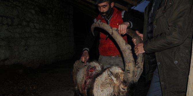 Yaralı bulunan yaban keçisi telef oldu