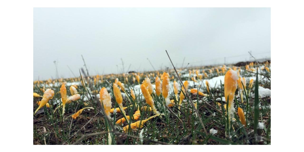 Çiğdemler kar altında kaldı