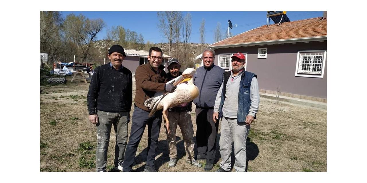 Kütahya'da yaralı pelikan tedavi altına alındı