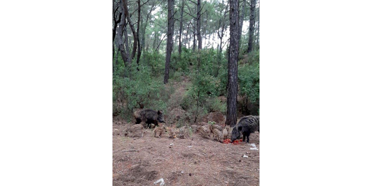 Domuzların şehre inmemesi için ormanlık alanda besleme çalışması