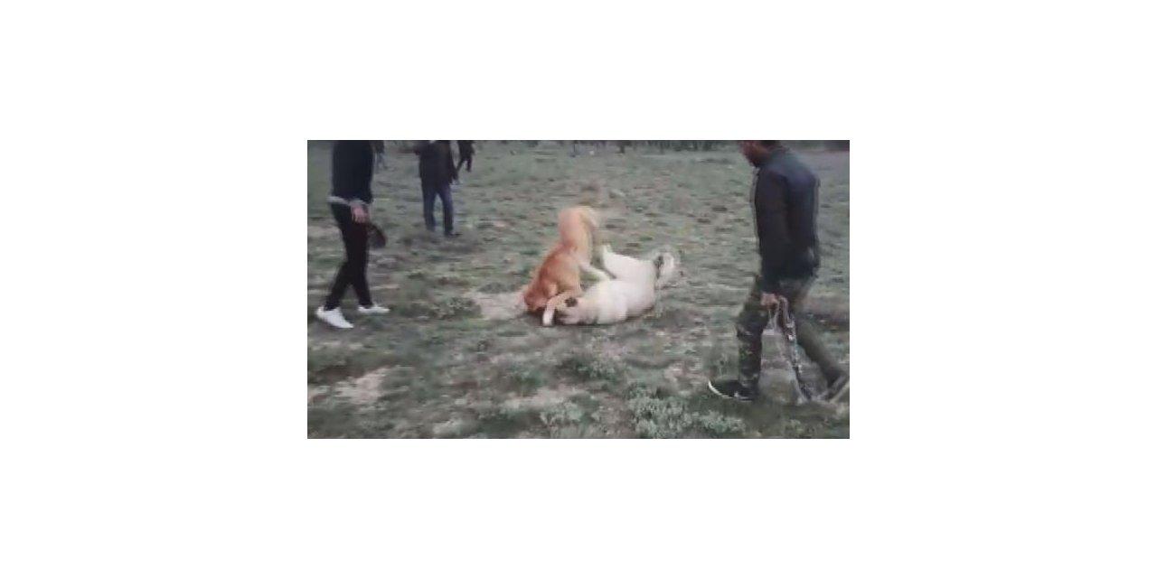 İnternetken köpek dövüşü düzenleyenlere operasyon