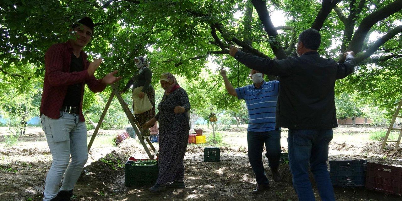 'Erik Dalı' türküsü eşliğinde erik hasadı