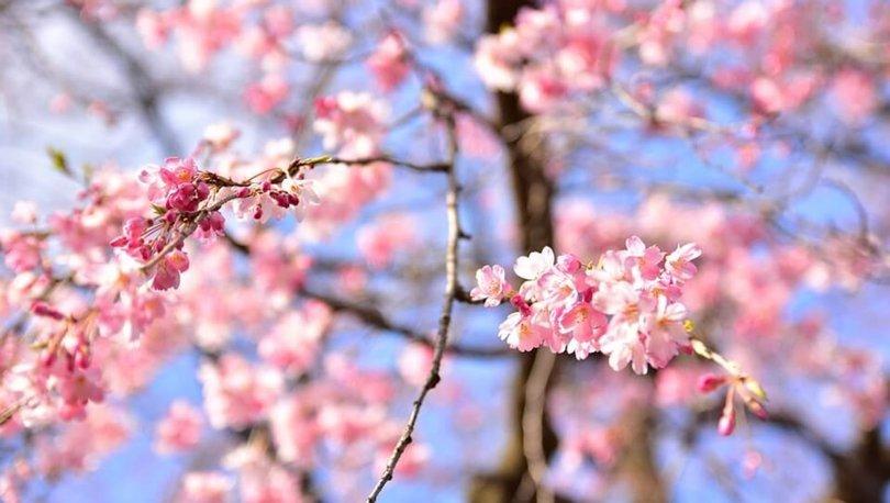 Çam ne demek? Sakura ne demek?