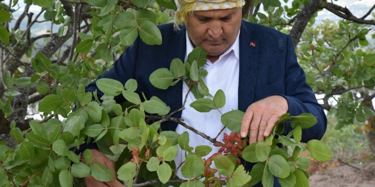 Manisa, Antep fıstığında 300 ton rekolte bekliyor