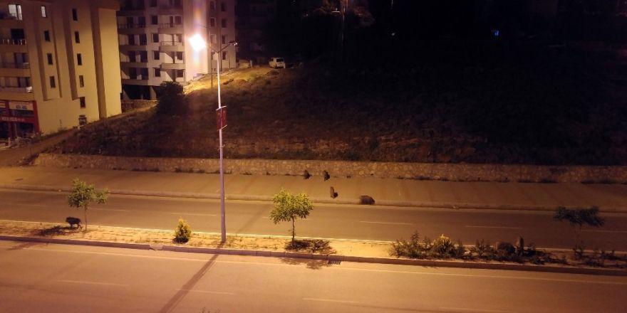 Tunceli'de yaban domuzlarını günün her vakti görmek mümkün