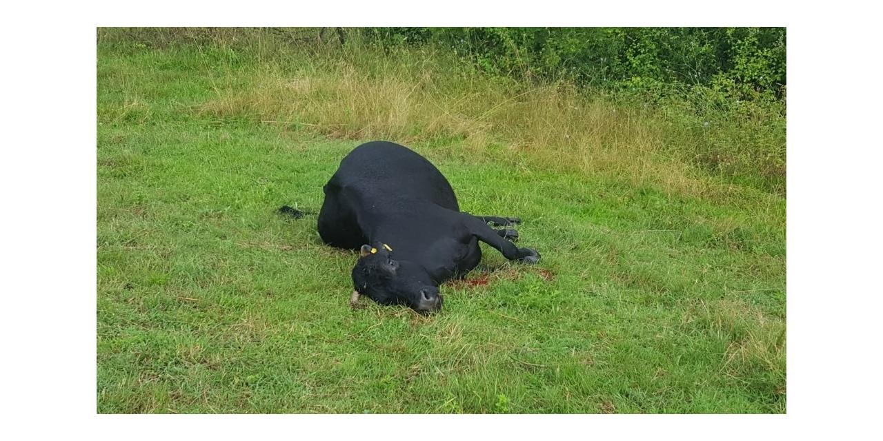 Yıldırım düşmesi sonucu inekleri telef olan kadın gözyaşlarına boğuldu