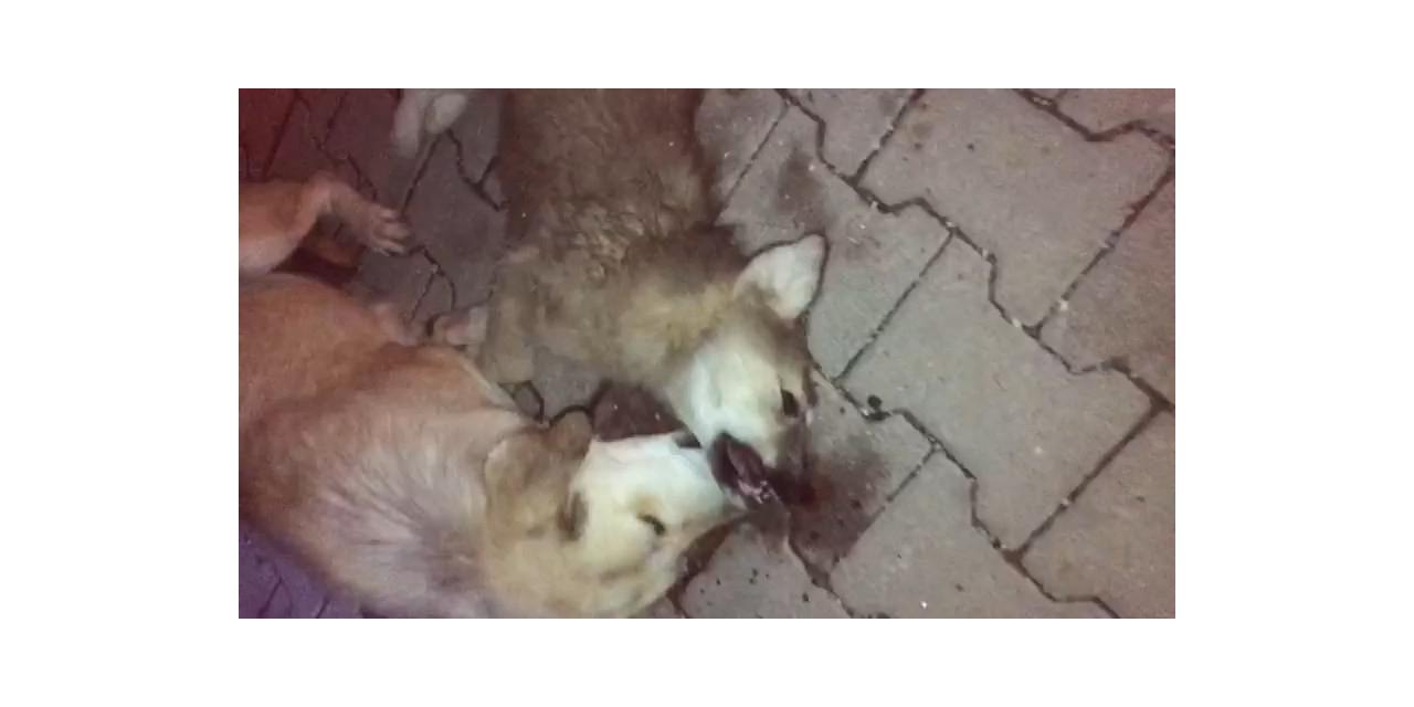 Yavrularından biri öldürülen anne köpeğin gözyaşları
