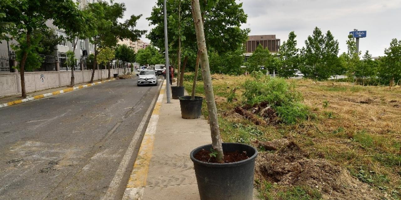Devrilen 83 ağacın yerini çınar ağaçları alıyor