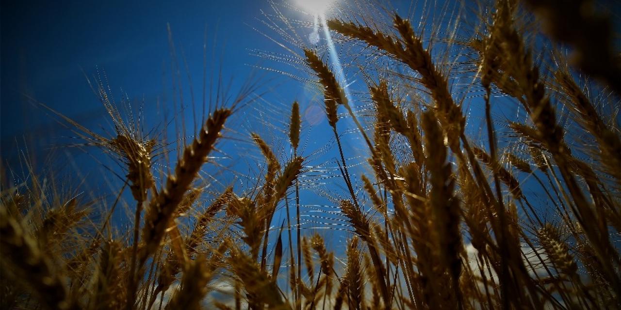 300 bin ton hububat üretilen Elazığ'da, 32 yerli tohum denendi