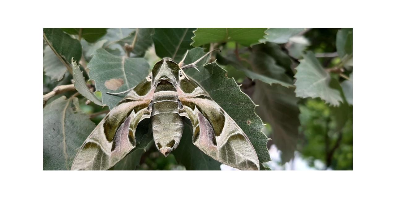 Beytüşşebap'ta askeri kamuflaj desenli mekik kelebeği görüldü