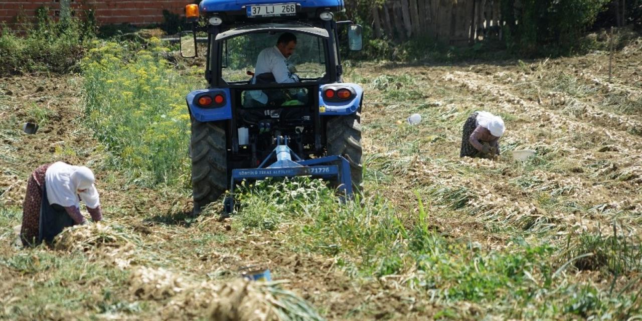 Geçtiğimiz yıl 100 lirayı bulan sarımsağın yeni mahsulü 15 liradan satışa başladı