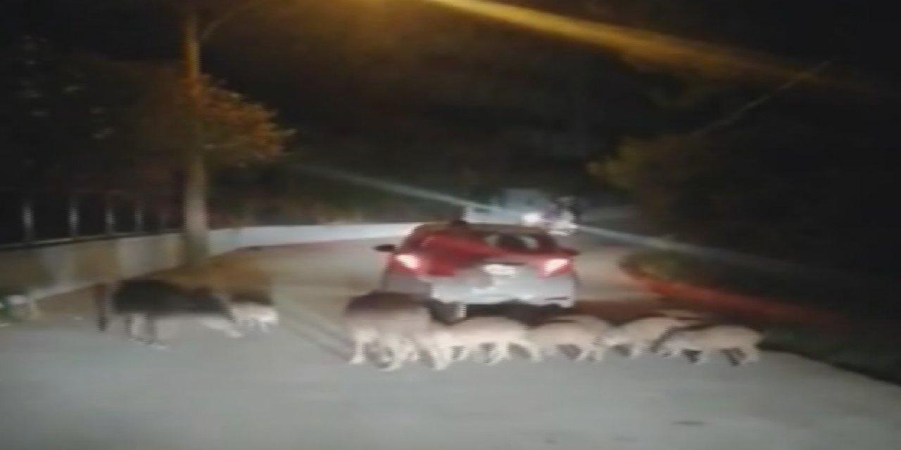 Marmaris'te şehre inen yaban domuzlarını elleri ile beslediler
