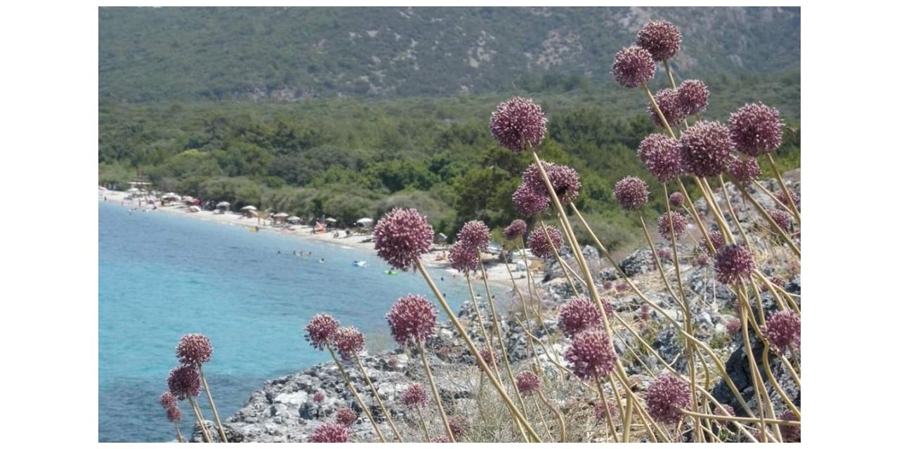 Kıyı sarımsakları Körfez'e renk kattı