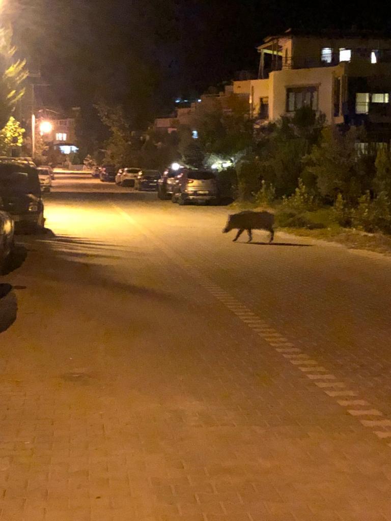 Altınoluk'ta yerleşim yerine inen domuzlar korku saçtı!
