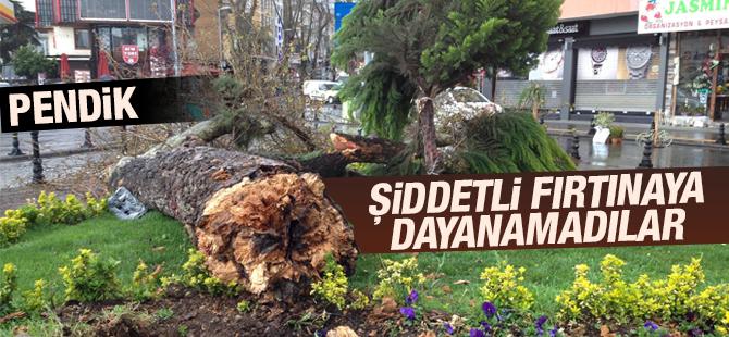 Asırlık Çam Ağaçları Şiddetli Fırtınaya Dayanamadı