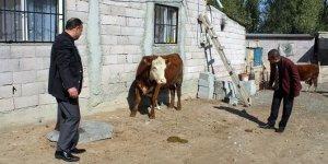 Genç Çiftçi Projesi kapsamında ilk buzağı alındı