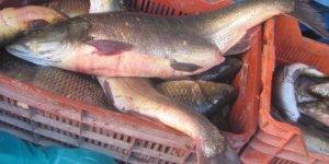 Arabanlıların balık İhtiyacı Fırat'tan karşılanıyor
