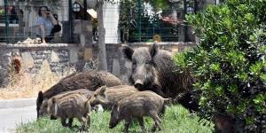 Bodrum'da domuzlar şehre indi!