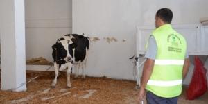 Kesileceğini anlayan kızgın inek iğneyle sakinleştirildi