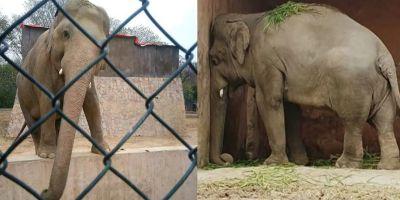 35 yıldır işkence gören fil Kaavan sonunda kurtuldu ve korumaya alındı