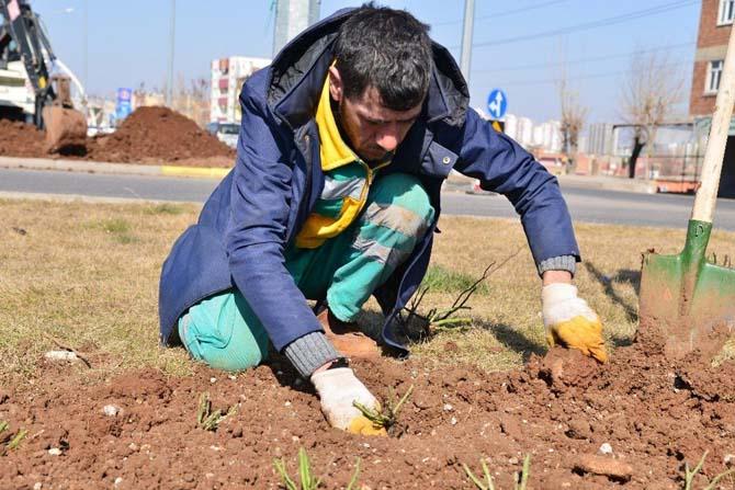 Yeşil alanlar peyzaj gülleriyle donatılacak