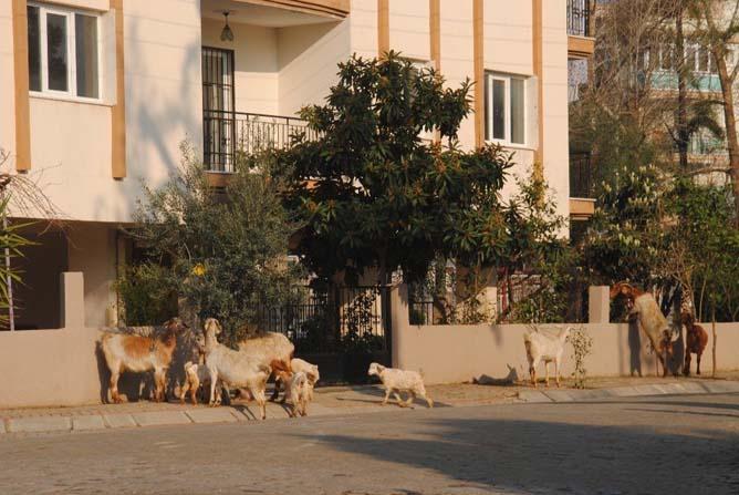 Keçiler şehrin keyfini çıkardı