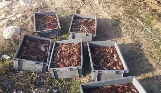 Kaçak olarak avlanan 350 kilo denizhıyarı yakalandı