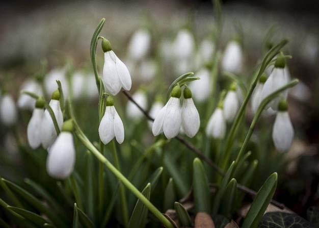 Macaristan'da kardelen çiçekleri açtı