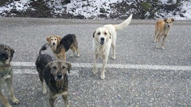 Tosya'da başıboş geçen sokak köpekleri, tehlike saçıyor