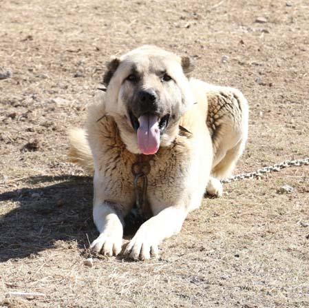 Zengin Arapların satın alamadığı tek hayvan