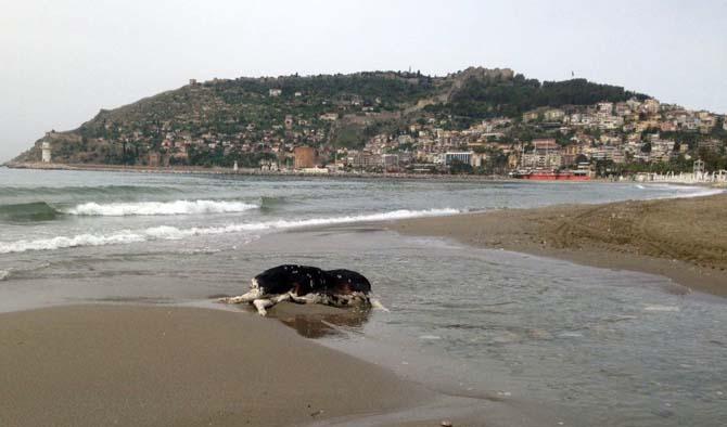 Alanya'da İnek ölüsü sahile vurdu