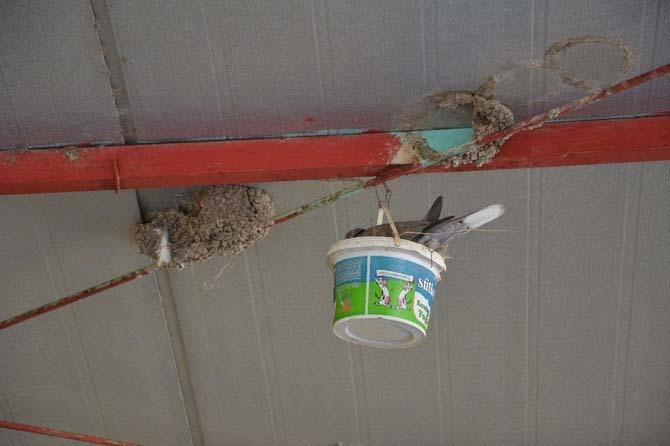 Yuvaları yıkılan kırlangıçlara yoğurt kabından yuva