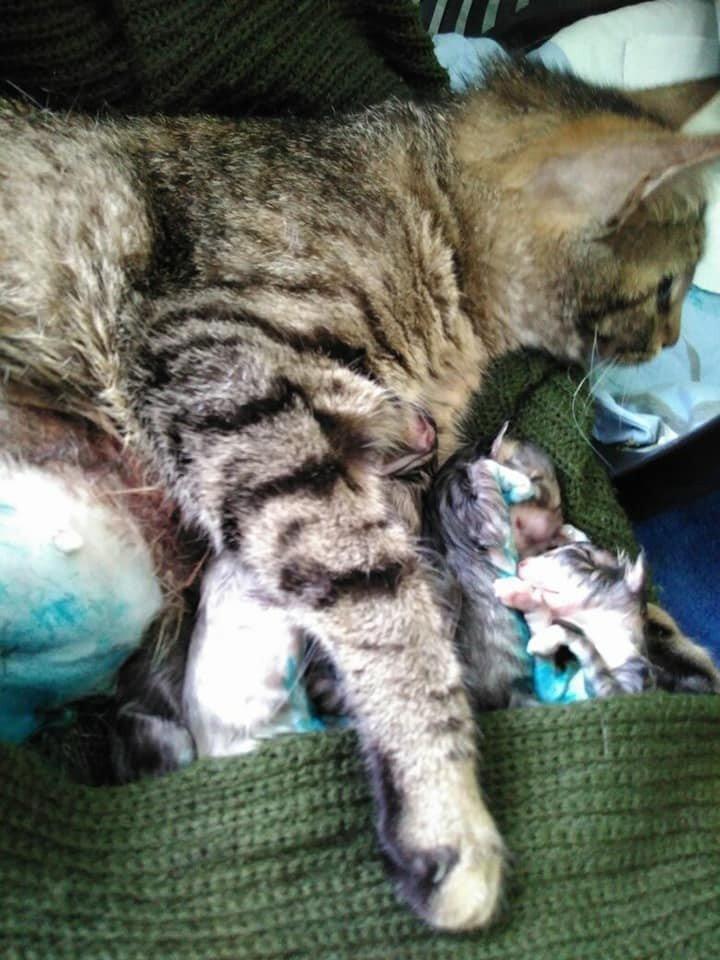 Doğum yapmakta zorlanan kedi sezaryenle ameliyat oldu