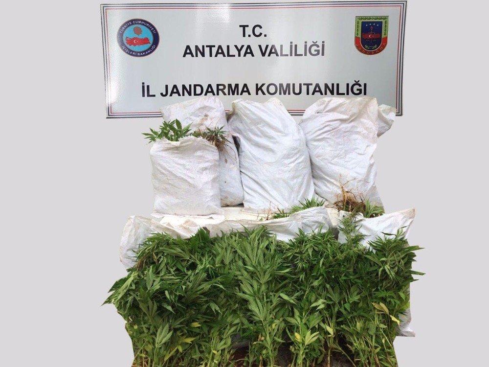 Manavgat'ta Hint keneviri operasyonu
