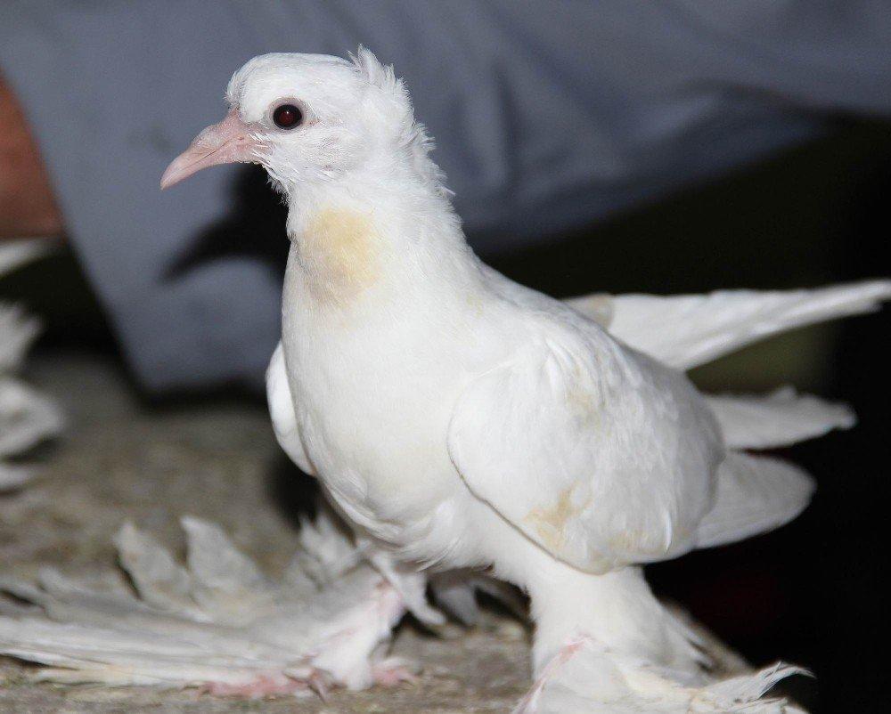Maaşlarıyla kuş mezatında açık arttırmayla güvercin alıyorlar