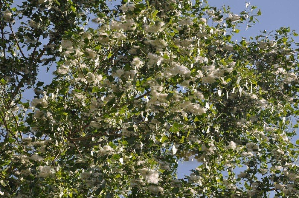Polenli ağaçlar vatandaşları rahatsız ediyor