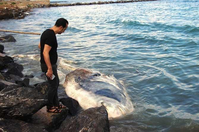 Nesli tükenmekte olan dev balina Arsuz'da kıyıya vurdu