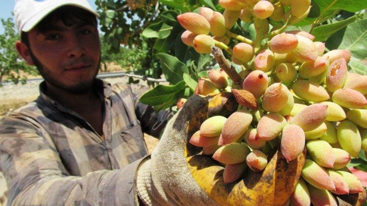 Gaziantep'te fıstık hasadı başladı