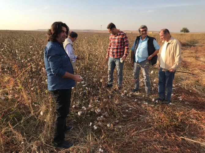 Başkan Gülenç, pamuk hasadını inceledi