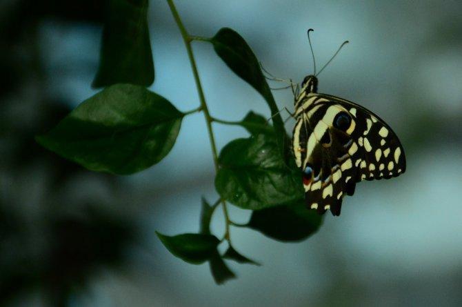 Doğal yaşam alanındaki kelebeklere ziyaretçi akını