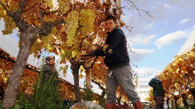 Sarıgöl'de üzümde kış hasadı