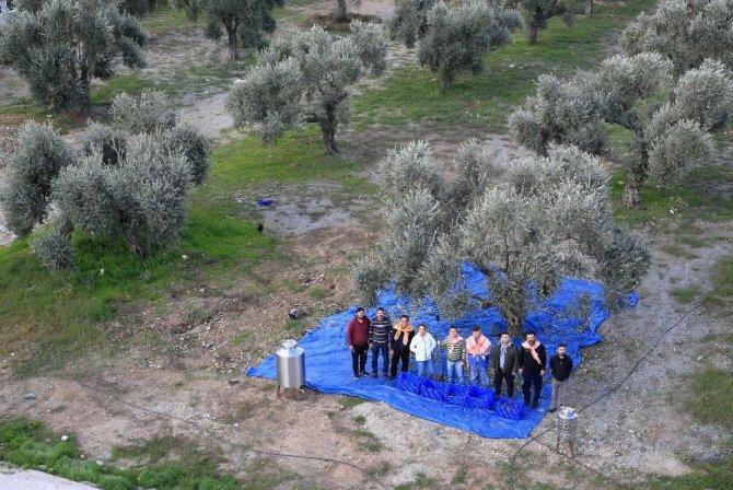Zeytin ağaçları 3 yıl sonra meyve verdi