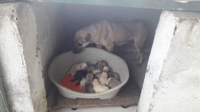 Öksüz kalan yavrulara sütanne bulundu