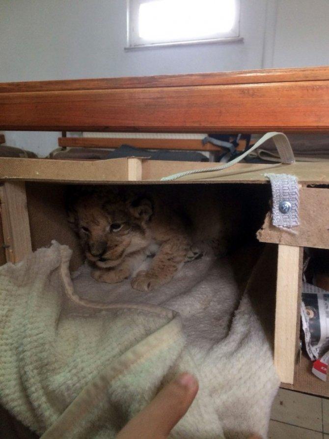 Durdurulan araçta evcil hayvanlar ve aslan yavrusu ele geçirlidi