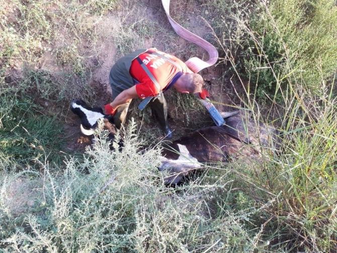 Sulama hendeğine düşen inek kurtarıldı