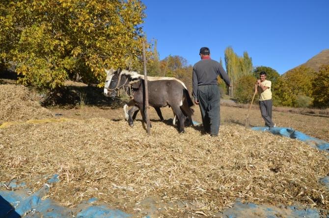 At ve katırların yardımı ile fasulyeler harmanlanıyor